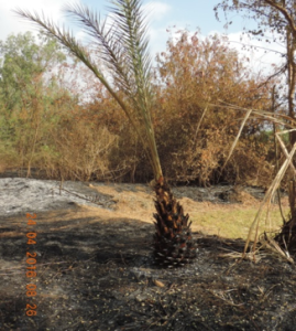 Shindi Palm, (Phoenix sylvestris) survival after wildfire