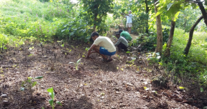Planting of Cliff banana on contour line