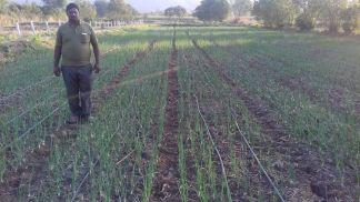 Shri Gorakh Dhore Maval Pune (5th year) Onion by SRT