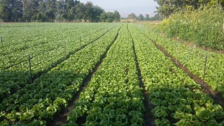 Shri Ananta Kale Maval Pune (3rd year) Lettuce by SRT