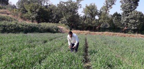 Shri Ekanath Thombare Maval Pune (2nd year) Wheat on SRT
