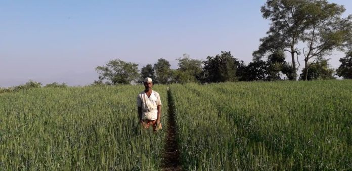 Shri Ramdas Thombare Maval Pune (2nd year) Wheat by SRT