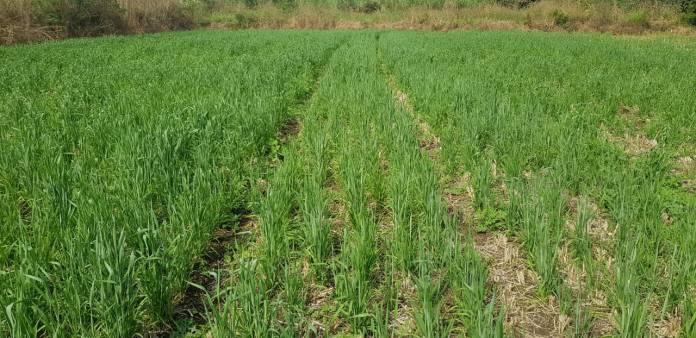 Mr Yash Fulsunge, Maval, Pune (Wheat after rice by SRT))