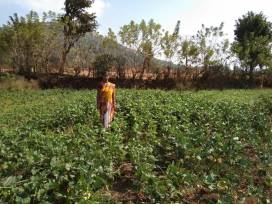 Mrs Paradhi, Dapoli, Ratnagiri (cow pea by SRT))
